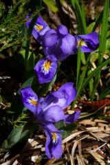 Ridges Sanctuary Dwarf Lake Iris