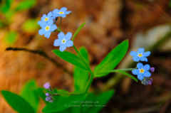 Door County Forget-me-nots Close Up