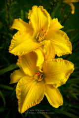 Two Yellow Daylilies