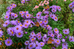 Lavender Asters with Three Painted Lady Butterflies