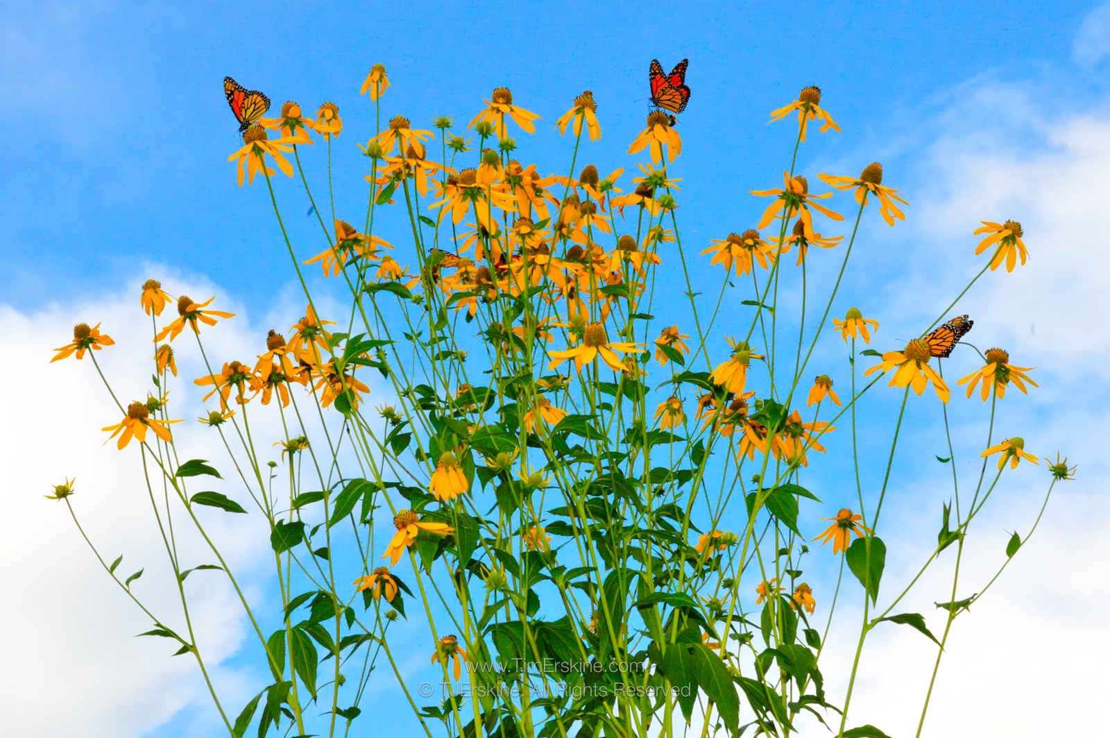 Monarchs on Green-headed Coneflowers