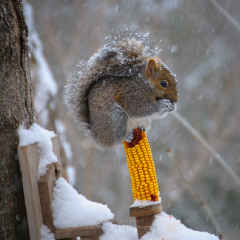 Squirrel on a Corn Cob